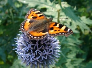 Butterfly on flower, Photo attribution: Fanny Littmarck
